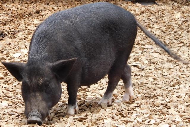 やんばる豚